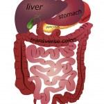 ������, ������: Gastrointestinal tract