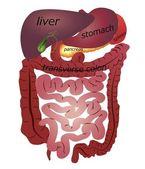 Gastrointestinal tract — Stock Vector