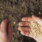 Sowing weat — Stock Photo
