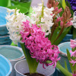 Colorful hyacinths — Stock Photo