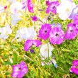 Delightful colors of Petunia flowers in bright sunlight — Stock Photo