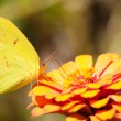 Bright yellow Cloudless Sulphur butterfly feeding on an orange flower — Stock Photo
