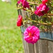Hot pink Portulaca flowers in a wooden pot - Stockfoto