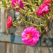 Hot pink Portulaca flower - Stockfoto