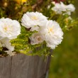 Pure white Portulaca flowers in a wooden container - Zdjęcie stockowe