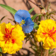 Bright yellow portulaca flowers with a delicate light blue Dayflower Commel - Zdjęcie stockowe