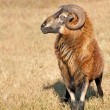 Stock Photo: Handsome Barbados black bellied ram in pasture