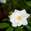 Delicate white rose with raindrops — Stock Photo