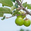 Young apples growing in a tree - Stock Photo