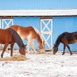 Three horses eating hay on a cold winter day in front of a blue barn — Stock Photo