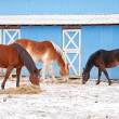 Three horses eating hay on a cold winter day in front of a blue barn — Stock Photo #8002337