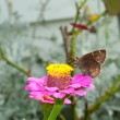 Southern cloudywing butterfly feeding on pink Zinnia — Stock Photo