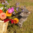 Blue tabby cat sniffing brilliantly colored flowers — Stock Photo #8002936