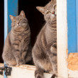 Matching pair of blue tabby cats sitting on top of a Dutch door — Stock Photo