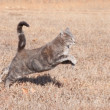 Beautiful blue tabby cat leaping while running in dry winter grass — Stock Photo