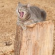 Stock Photo: Comical image of blue tabby cat yawning