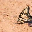 Beautiful Eastern Tiger Swallowtail butterfly — Stock Photo