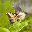 Yellow Eastern Tiger Swallowtail feeding on a buttonbush — Stock Photo