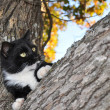 Expressive black and white tuxedo cat in a tree — Stock Photo