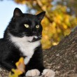 Stock Photo: Handsome tuxedo cat with striking eyes surveying world from his tree