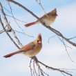 Stock Photo: Two female Northern Cardinals in tree in winter