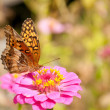 Variegated Fritillary butterfly — Stock Photo
