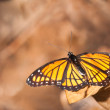 Brilliant Viceroy butterfly against muted brown background — Foto Stock