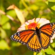 Viceroy butterfly feeding on a flower — Stock Photo