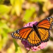 Dorsal view of a brilliant Viceroy butterfly — Stock Photo