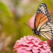 Ventral view of a colorful Viceroy butterfly feeding on a pink Zinnia — ストック写真