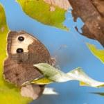 Beautiful Wood Nymph Butterfly — Stock Photo #8004246