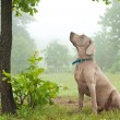 Weimaraner dog sitting, watching closely at something up in the tree — Stock Photo