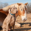 Stock Photo: Weimaraner dog sitting next to his resting friend, BelgiDraft horse