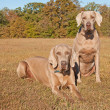 Two beautiful Weimaraner dogs — Stock Photo