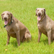 Stock Photo: Two Weimaraner dogs sitting on green grass