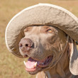 Humorous image of a Weimaraner dog wearing a ha — Stock Photo