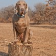 Stock Photo: Comical image of big Weimaraner dog sitting on top of log