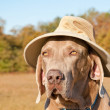 Funny image of a Weimaraner dog wearing a summer hat — Stock Photo #8004555