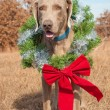 Beautiful Weimaraner dog wearing a Christmas wreath with a red bow - Stock Photo