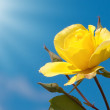 Brilliant yellow rose against deep blue sky with rays of sun — Stock Photo #8004592