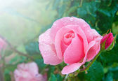Beautiful pink rose with water droplets after rain in garden — Stock Photo