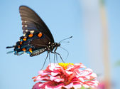 Pipevine Swallowtail feeding on a pink Zinnia — Stock Photo