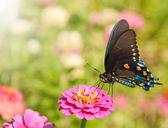 Blue iridescent Pipevine Swallowtail, Battus philenor butterfly — Stock Photo