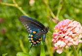 Ventral view of a Pipevine swallowtail butterfly, Battus philenor — Stok fotoğraf