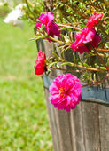 Hot pink Portulaca flowers in a wooden pot — Stock Photo