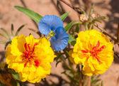 Fleurs de portulaca jaune vif avec une délicate dayflower bleu clair commel — Photo