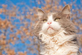 Beautiful long haired diluted calico cat against blue sky — Stock Photo