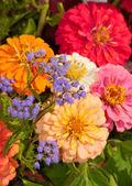 Lindas flores silvestres roxos contra fundo de flor zinnia colorido — Foto Stock