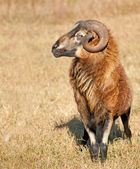 Handsome Barbados black bellied ram in pasture — Stock Photo