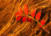 Brilliant red autumn leaf in water partially submerged — Stock Photo